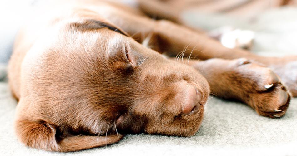 Labrador pup ligt op de deken