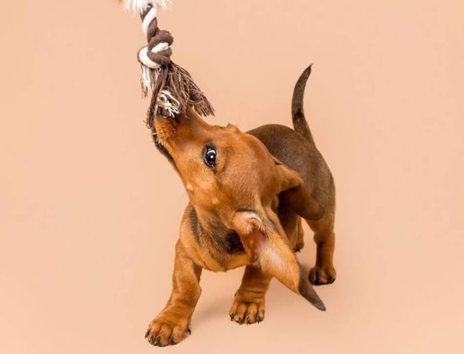 Spelen puppy