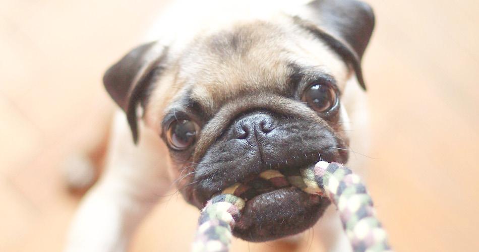 Puppy die speelt met touw