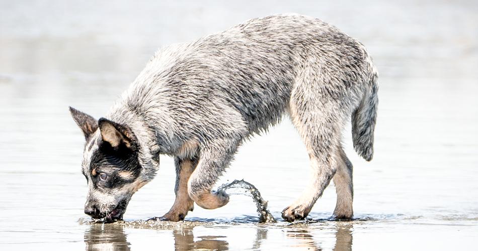 Hond drinkt uit plas