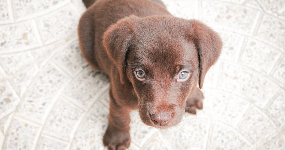 BLOG_14 Noodzakelijke benodigdheden voor een Labrador Puppy