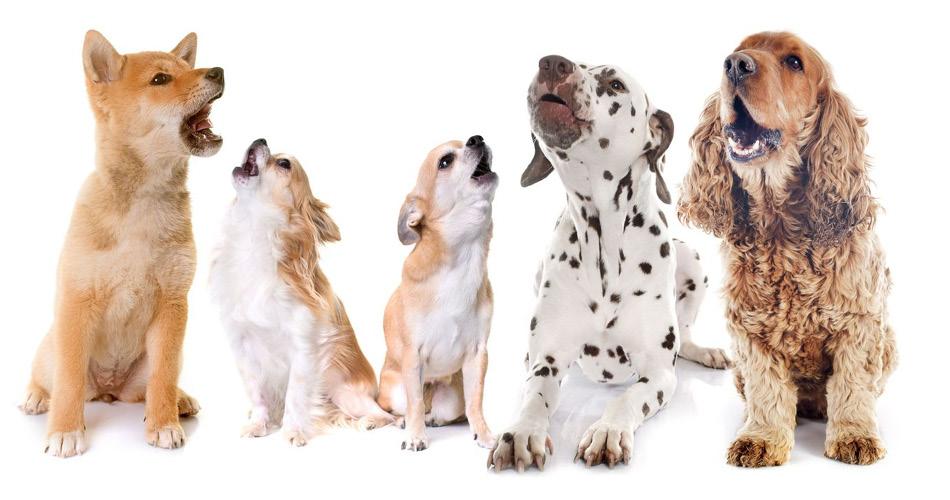 Waarom blaffen honden