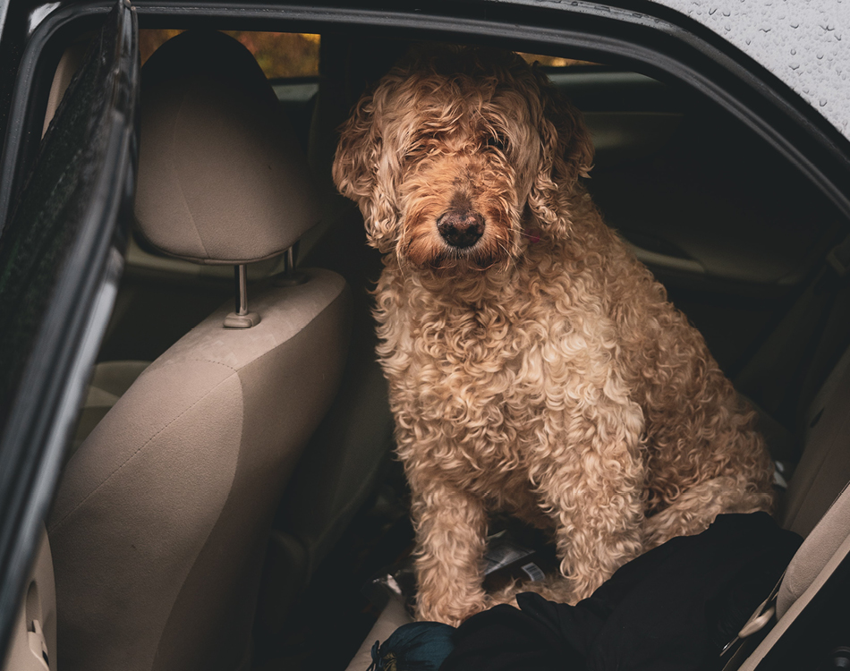 Hond in auto op achterbank