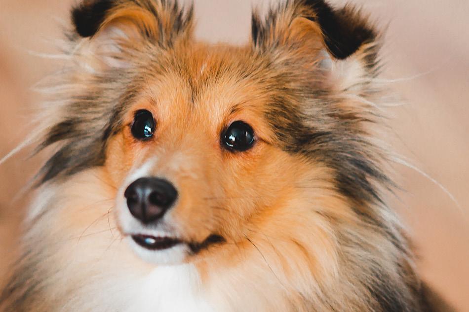 Schetland sheepdog