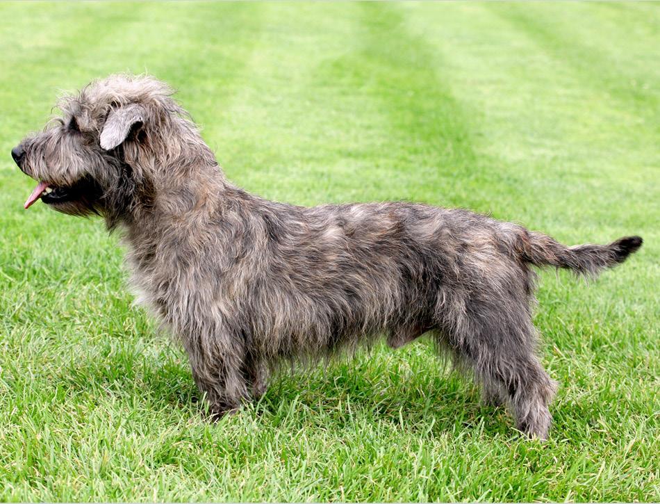 glen terrier
