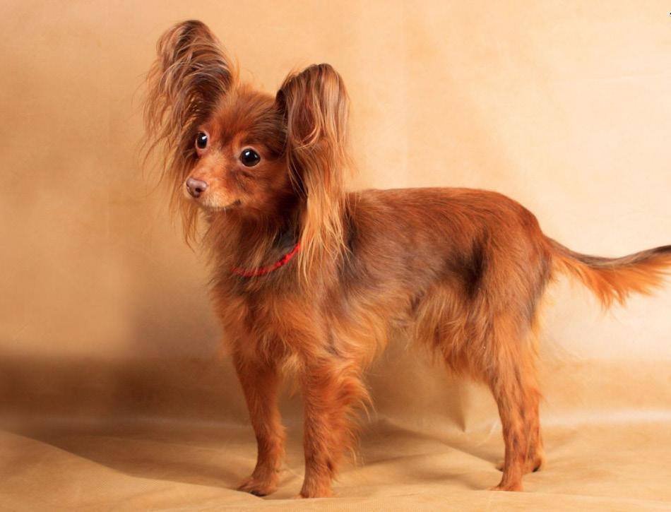 Russische toy terrier