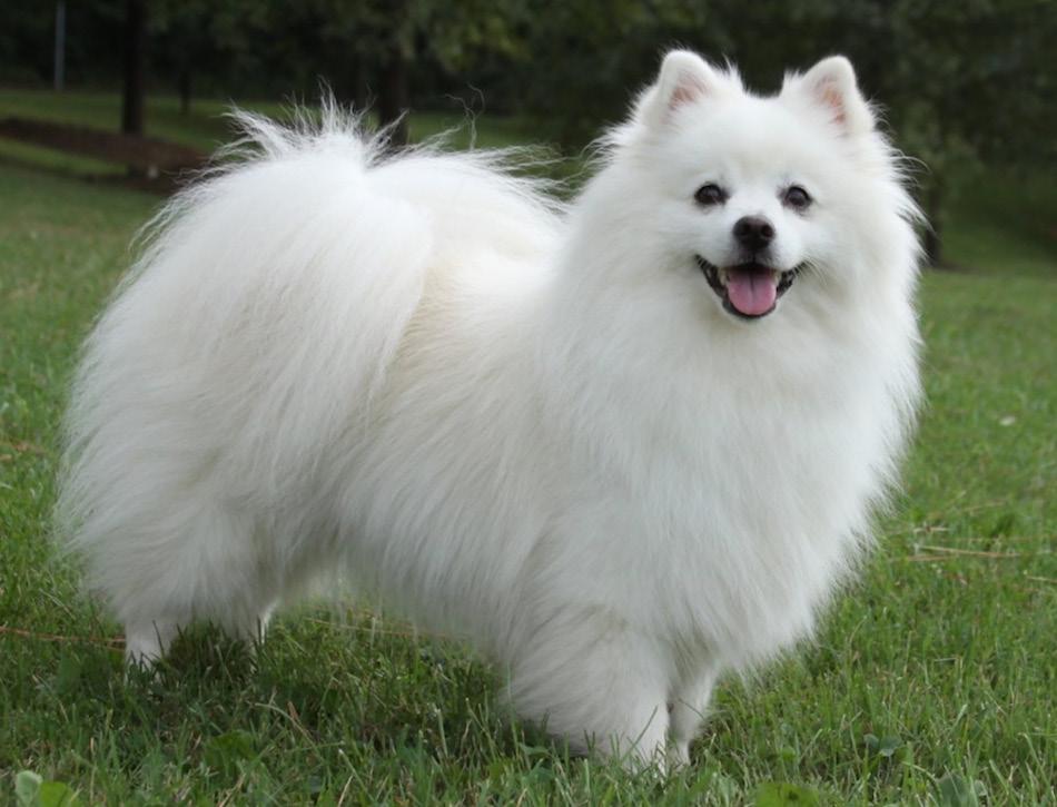 Amerikaanse eskimo hond